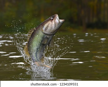 Largemouth bass jumping out of lake with splashes 3d render