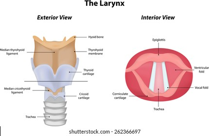 The Larynx with Interior and Exterior Views