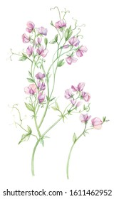 Latirus or sweet pea. The color of the buds is pink. Watercolor. Isolated white background.