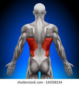 Latissimus Dorsi - Anatomy Muscles