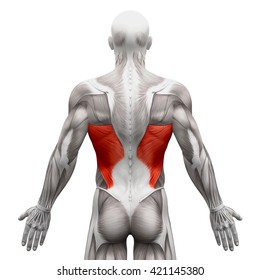Latissimus Dorsi - Anatomy Muscles isolated on white - 3D illustration