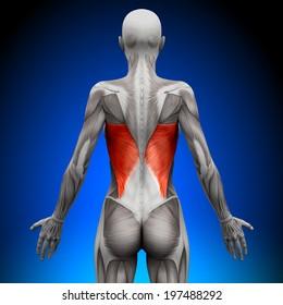 Latissimus Dorsi - Female Anatomy Muscles