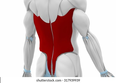 Latissimus dorsi - Muscles anatomy map