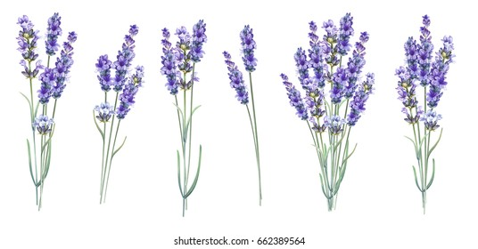 Lavandula aromatic herbal flowers. Summer collection of blossom lavender. Awesome blue flowers set. Pack for marriage, wedding or invitation cards. Watercolor illustration on white background.