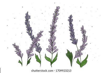 """Lavandula is well known as Lavender, flowering plants in the mint family and also symbolizes of """" Purify """"."""