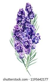 lavender, bouquet flowers on an isolated white background, botanical painting, watercolor illustration, hand drawing