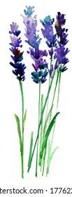 lavender bouquet. watercolor