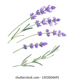 Lavender Flowers and Leaves Pencil Illustration Isolated on White