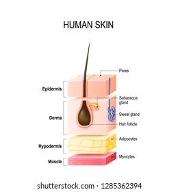 Layers of Healthy Human Skin with hair follicle, sweat and sebaceous glands. Epidermis, dermis, hypodermis and muscle tissue. illustration for your design, educational and medical use