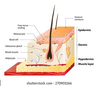 Layers Of Human Skin. Epidermis (horny layer and granular layer), Dermis (connective tissue) and Subcutaneous fat (adipose tissue)