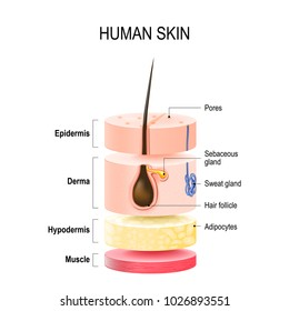 Layers Of Human Skin with hair follicle, sweat and sebaceous glands. Epidermis, dermis, hypodermis and muscle tissue. illustration for your design and medical use