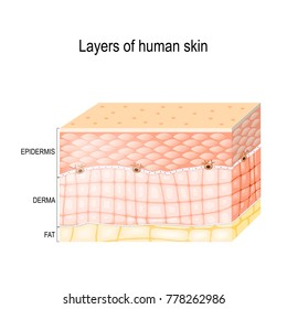 Layers Of Skin. Epidermis (horny layer and granular layer), Dermis (connective tissue) and Subcutaneous fat (adipose tissue). Healthy human skin. diagram for medical use.