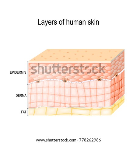 layers skin epidermis horny layer granular stock illustrationlayers of skin epidermis (horny layer and granular layer), dermis (connective tissue) and subcutaneous fat (adipose tissue) healthy human skin diagram