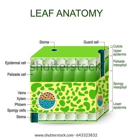 Leaf Anatomy Diagram On White Background Stock Illustration