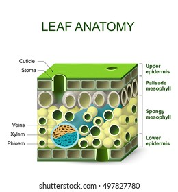leaf anatomy. diagram of leaf structure