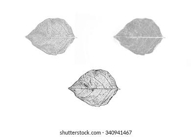 leaf drawing sketch, Scientific botanical illustration of leaf structure, Old style drawing