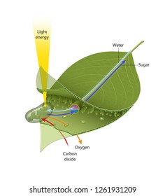 Leaf photosynthesis - Illustration