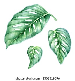 Leaves monstera. Watercolor illustration isolated on white background.