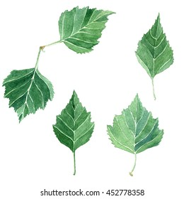 Leaves set, collection of hand drawn watercolor birch leaves, isolated on white background. Flora nature clip art.