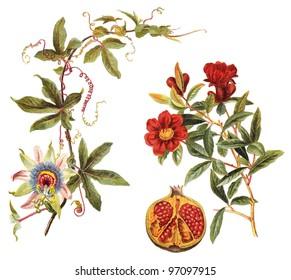 left Blue Passion Flower (Passiflora caerulea) and right Pomegranate (Punica granatum) / vintage illustration from Meyers Konversations-Lexikon 1897