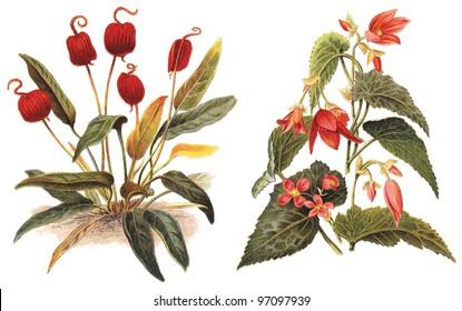 left Flamingo Flower (Anthurium Scherzerianum) and right Begonia boliviensis / vintage illustration from Meyers Konversations-Lexikon 1897
