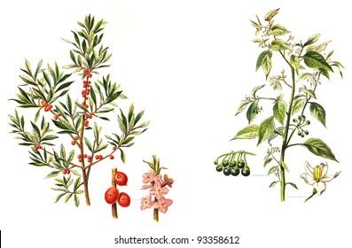left Mezereon (Daphne Mezereum) and right European Black Nightshade (Solanum nigrum) - poisonous plants / vintage illustration from Meyers Konversations-Lexikon 1897