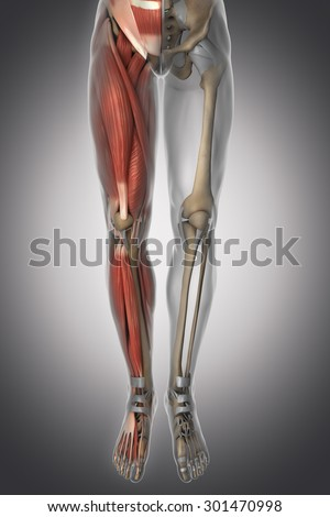 Leg Anatomy Muscle Bone Cartilage Ligament Stock Illustration