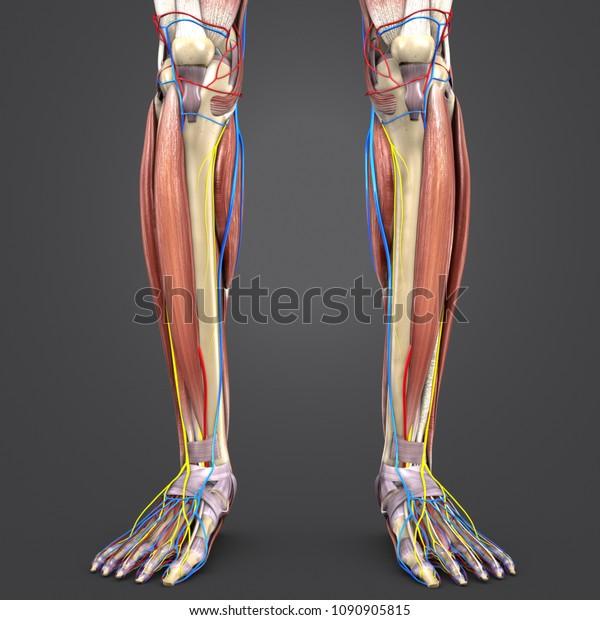 Leg Muscle Anatomy Skeleton Arteries Veins Stock