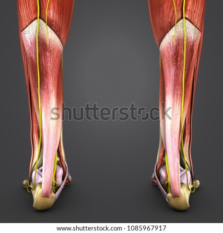 Leg Muscle Anatomy Skeleton Nerves Posterior Stock Illustration ...