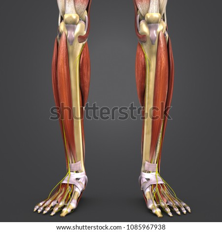 Leg Muscle Anatomy Skeleton Nerves Anterior Stock Illustration