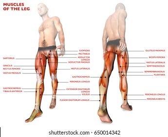 Leg muscles, human body, anatomy, muscle system. 3D rendering