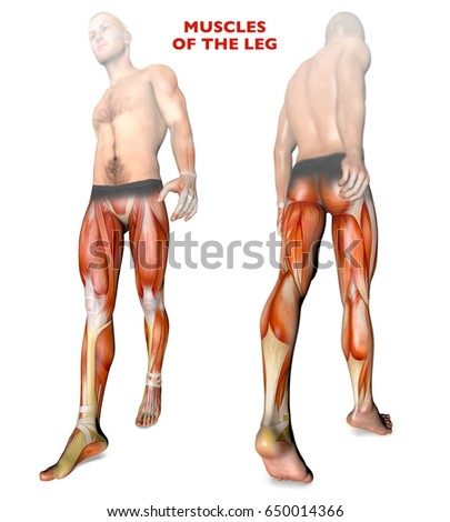 Leg Muscles Human Body Anatomy Muscle Stock Illustration 650014366 ...