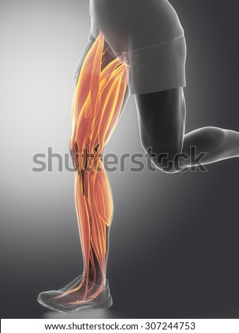 Leg Muscles Human Muscle Anatomy Stock Illustration 307244753