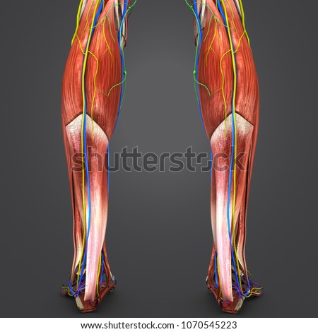 Royalty Free Stock Illustration of Legs Muscle Anatomy Arteries ...