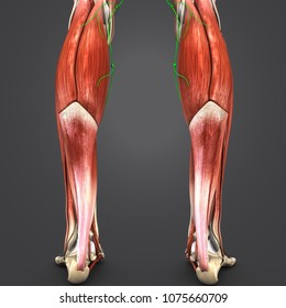 Anterior And Posterior Leg Muscles Images, Stock Photos & Vectors ...