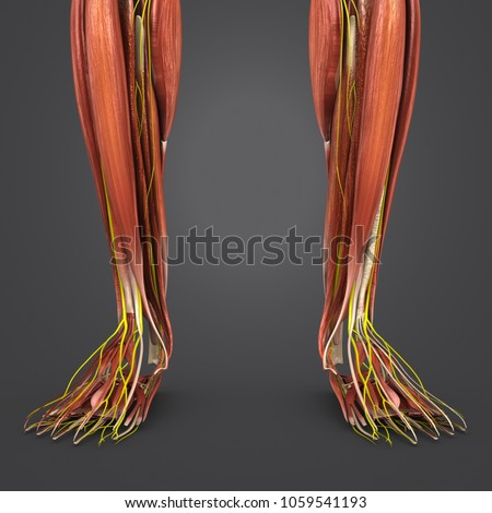 Legs Muscle Anatomy Nerves Anterior View Stock Illustration ...