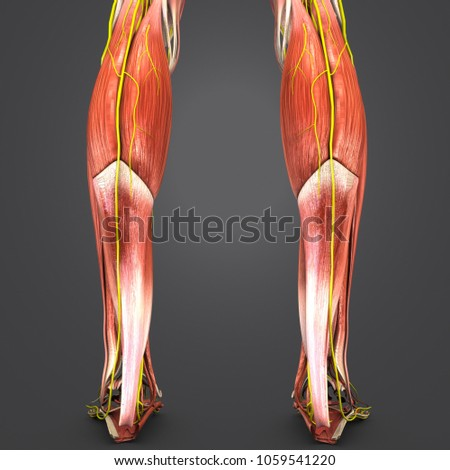 Legs Muscle Anatomy Nerves Posterior View Stock Illustration ...