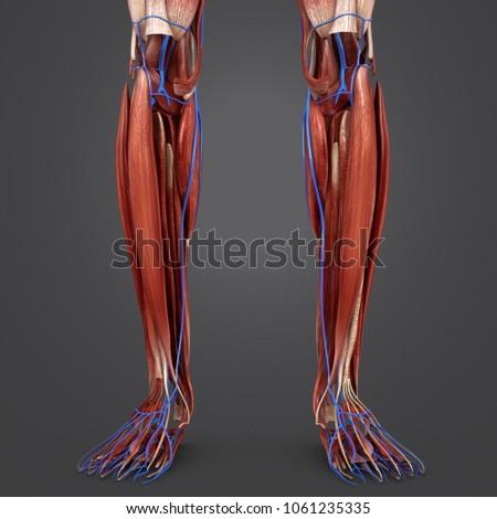 Legs Muscles Anatomy Veins Anterior View Stock Illustration ...