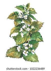 Lemon balm mint. Watercolor illustration isolated on white background.