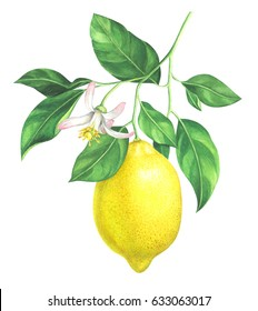 Lemon branch with flower on white background. Hand drawn watercolor illustration.