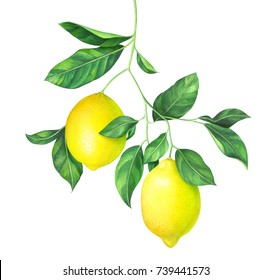 Lemon branch isolated on white background. Hand drawn watercolor illustration.