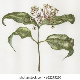 Lemon Myrtle Bush Tucker hand drawn isolated branch, green leaves and spent flowers. Pencil on watercolour paper.