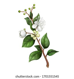 Lemon Myrtle Detail isolated digital art illustration. Flowers on green stem, Australian hand drawn plant. lemon myrtle, lemon scented myrtle, lemon scented ironwood flowering plant