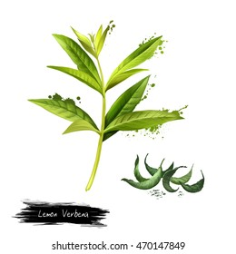 Lemon verbena fresh and dried. Lemon beebrush. Aloysia citrodora is a species of flowering plant in verbena family. Labels for Essential Oils and Natural Supplements. Digital art image