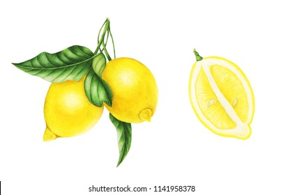Lemons on a branch with leaves and half of lemon, watercolor painting. For design prints, cards and patterns.