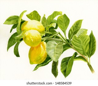 Lemons on a Branch.  Watercolor illustration, painting, of yellow lemons on the branch of a lemon tree.