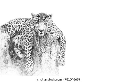 Leopard. Black and white sketch with pencil