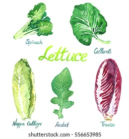Lettuce variety set: Spinach, Collards, Nappa Cabbage, Rocket, Treviso, isolated hand painted watercolor illustration