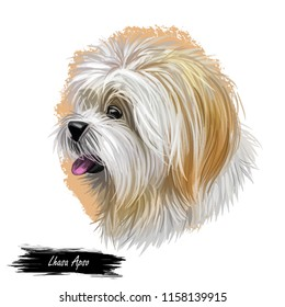 Lhasa apso pet with white fur, portrait of canine digital art illustration. Non-sporting dog breed originating in Tibet, indoor-monastery sentinel doggy. Pet closeup isolated on white background