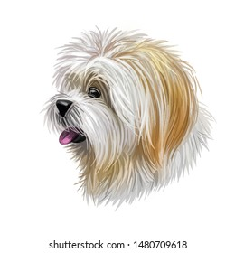 Lhasa apso pet with white fur, portrait of canine digital art illustration. Non-sporting dog breed originating in Tibet, indoor-monastery sentinel doggy. Pet closeup isolated on white background.